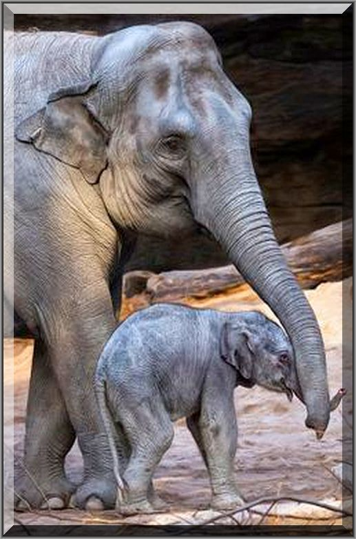 Mum`s helping trunk  #Fotograf: daliaf #elephant baby love animal pet nature cute elefant   #Mama`s helfender Rüssel
