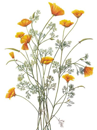 Northern California Society of Botanical Artists » Ashby
