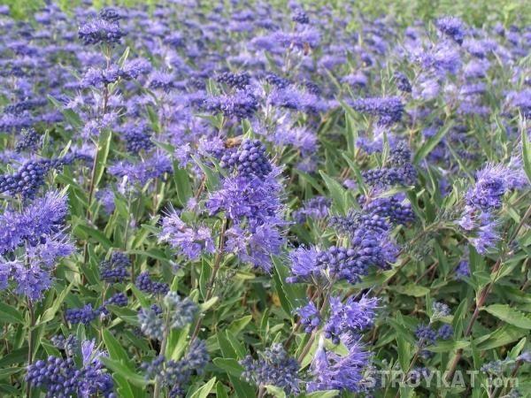 Как выбрать многолетние засухоустойчивые растения для сада?
