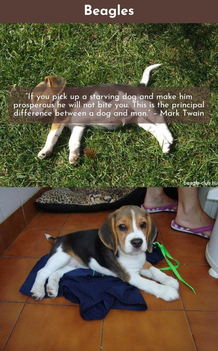 Beagle Friendly And Curious Training Your Dog Dogs Beagle Dog