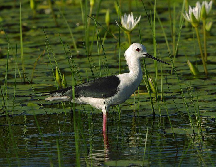 White Headed Stilt By Gary1844 Birds Charadriiformes