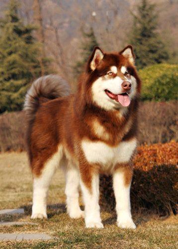 White Siberian Husky Puppies DadiJonny - Alaskan Ma...