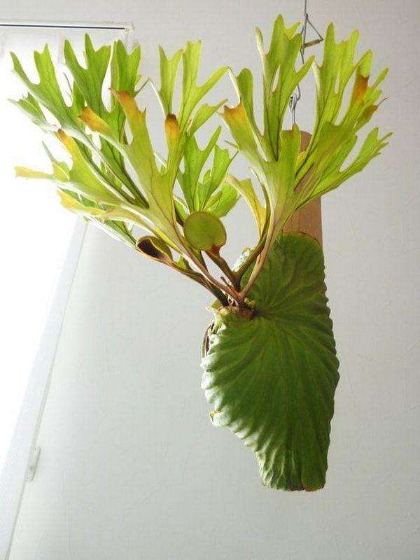 Cuerno de Alce o Helecho Australiano. Plantas para decorar interiores. Platycerium.