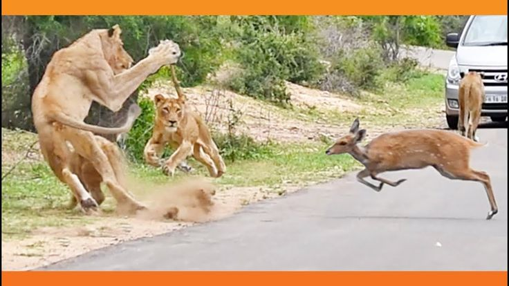 It's bad enough finding yourself in the wrong place at the wrong time… but this poor buck actually sprinted into the jaws of danger when it ran into this starving pride of lions. According to Kruger Sightings, which uploaded the video a few days ago, the footage was filmed by Hannes Beeslar (25), a teacher …