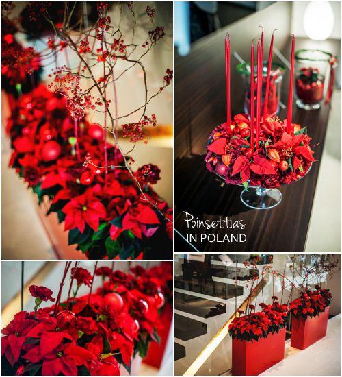 Euphorbia pulcherrima =kerstster