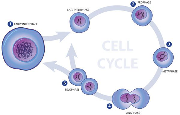 Ms.Iracheta's Biology Class: Cell Growth and Division Chapter 5