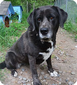Trail, BC - Labrador Retriever/Mastiff Mix. Meet Lola, a dog for adoption. http://www.adoptapet.com/pet/18709450-trail-british-columbia-labrador-retriever-mix