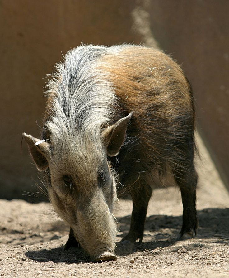Today is Wednesday and that means the next installment of our #WildlifeWednesday series. Today we will be showcasing the Bushpig. The bushpig is a member of the pig family and lives in forests, woodland, riverine vegetation and reedbeds in East and Southern Africa. Probably introduced populations are also present in Madagascar. There have also been unverified reports of their presence on the Comoro island of Mayotte. Bushpigs are mainly nocturnal. There are several subspecies. Adult bushpigs…