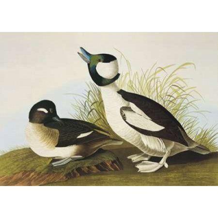 Buffel-Headed Duck Canvas Art - John James Audubon (20 x 28)