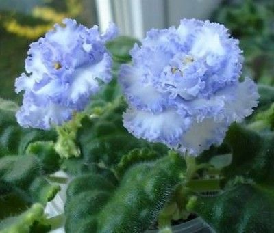 "African violet Saintpaulia ""LE Julia "" starter plant (russian) ~ Beautiful blue"