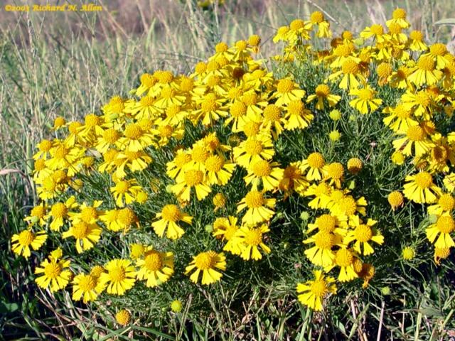 54 best Oklahoma Wildflowers images on Pinterest ...