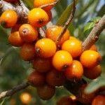 Catina alba - Hyppophae rhamnoides, este un arbust cunoscut ca facand parte din flora spontana a Romaniei, care se utilizeaza deopotriva in industria alimentara, in silvicultura, in farmacie dar si ca planta ornamentala. Catina alba isi are originea in stepele Asiei Centrale, in regiunea Caucazului. In acest articol puteti afla tratamente naturale din fructe de catina si metode de cultivare la catina alba.