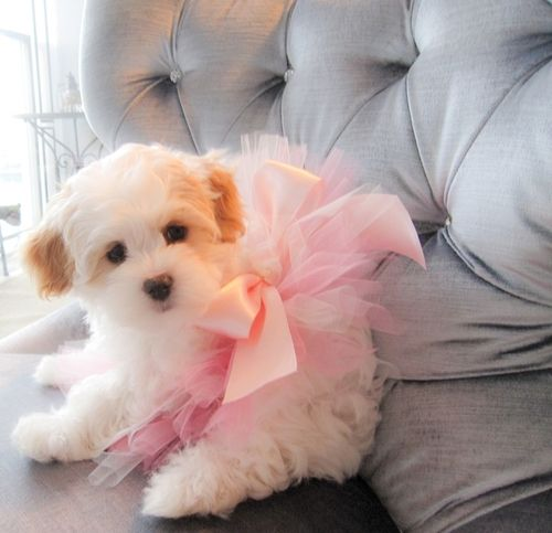 puppy in a tutu, so cute. would be a great surprise ;)