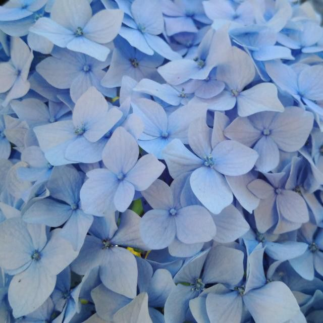 """#hydrangea #blue #flower #summertime #VancouverBC #Blackberryphoto """"Something old, something new, Something borrowed, something blue, And a silver sixpence in her shoe."""""""