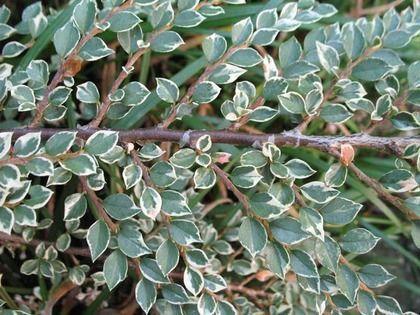 Skalník Atropurpureus Variegata 20/40 cm, v črepníku Cotoneaster atropurpureus variegatus