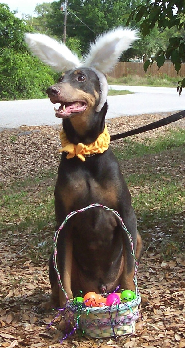 Venice, FL Doberman Rescue.  Happy Easter!