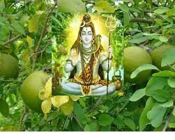 https://hindupoornima.wordpress.com/tag/pooja/  According to the Shiva Purana (7 AD) the Bilva tree is the manifest form of Lord Shiva himself,