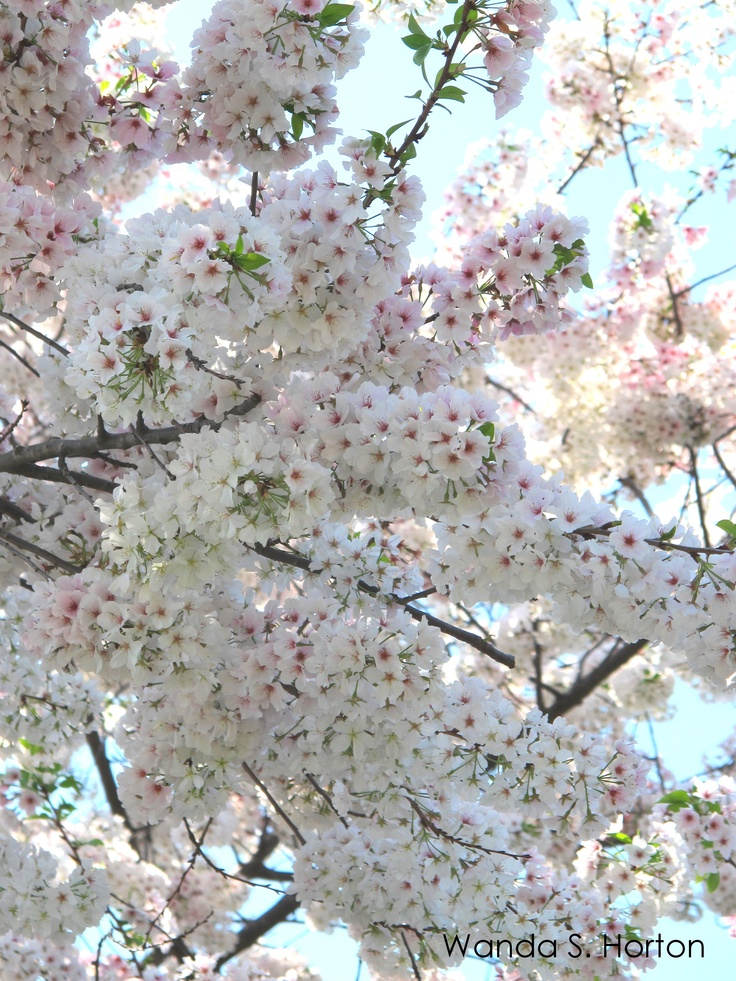 Gorgeous cherry blossoms in Charlotte, NC!