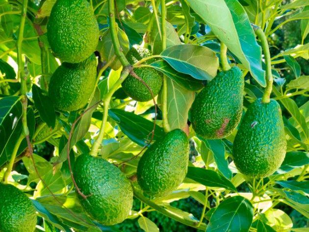 Benefícios e propriedades do chá das folhas de abacate