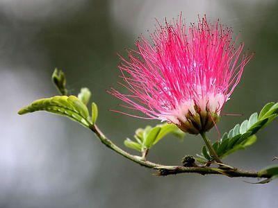 150 Seeds Albizia julibrissin Mimosa Tree Pink Siris Persian Silk ...