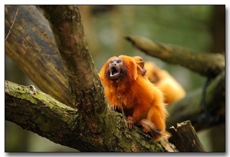 Golden Lion Tamarin:  A type of monkey of the omnivore typle, the golden lion tamarin eats fruits, insects, spiders, lizards, etc. It can reach up to 12 inches long (with a 12 inches tail) and a weight of about 2 pounds