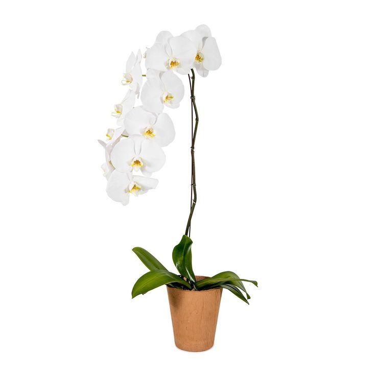 Flowering Phalaenopsis