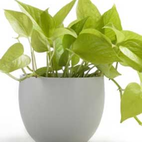 56 best images about pothos on pinterest silk plants for Low maintenance air purifying plants