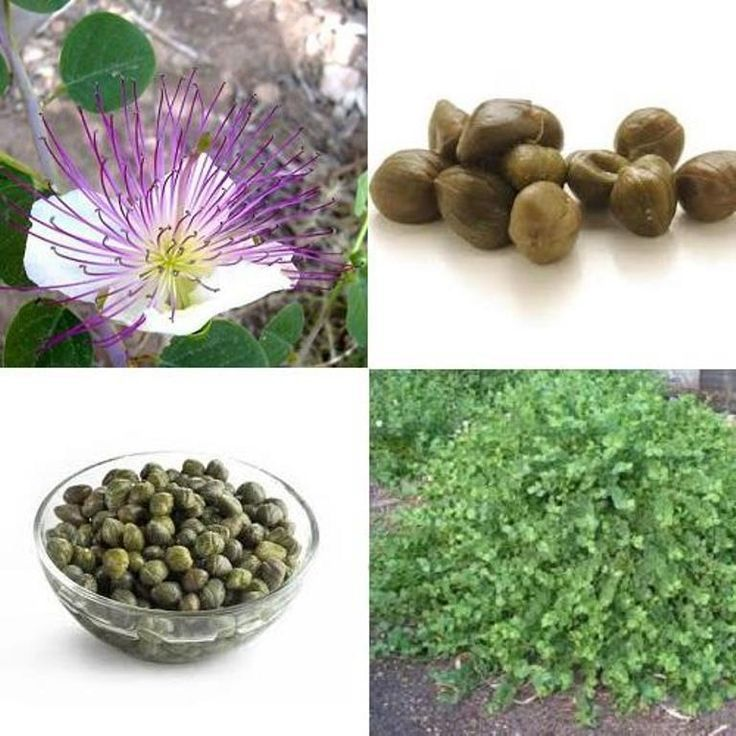 Caper Seeds (Capparis spinosa) Use as Medical & Culinary Herb-Perennial