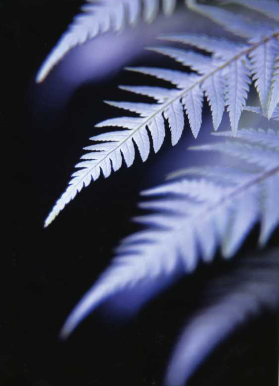 Undersides of the fronds of the Silver Fern or Ponga (Cyathea dealbata). This tree fern is native to New Zealand and only the undersides of the mature fronds are silvery. It is a widely used NZ national symbol, especially among sports teams.