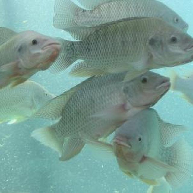 Fastest growing edible freshwater fish for ponds for Tilapia swimming