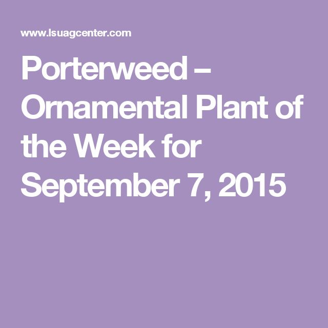 Porterweed – Ornamental Plant of the Week for September 7, 2015