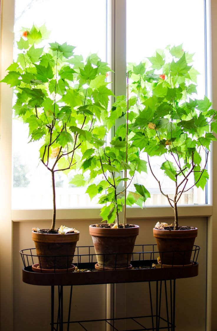 Klockkmalvorna börjar blomma mer och mer. Dessa plantor är snart 5 år gamla och jag beskär dem hårt varje höst och vår samt byter jord...
