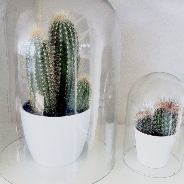 Domed cacti