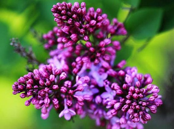 Heirloom 700 Seeds Syringa oblata Early Lilac Shrub by seedsshop, $1.79