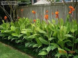 Image result for canna