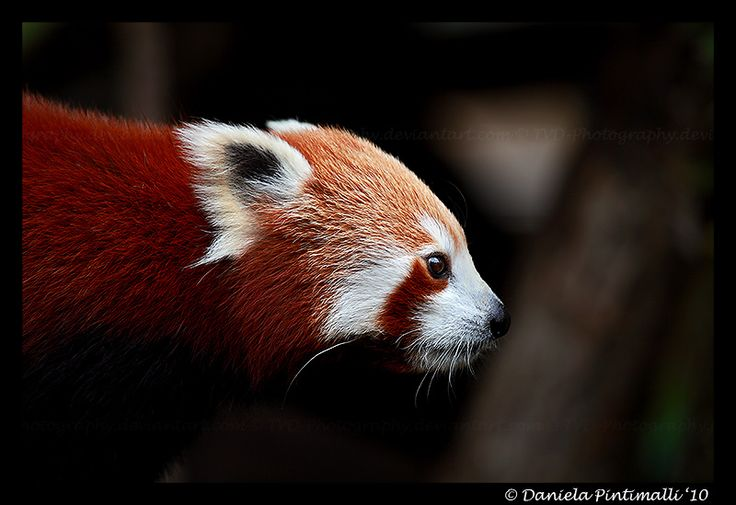 Red Panda Profile by TVD-Photography.deviantart.com