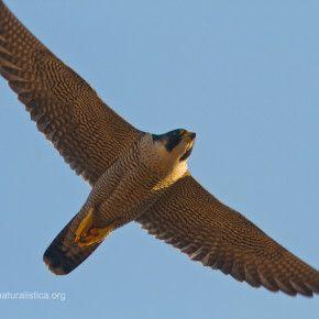 Si è conclusa la fase di ricerca sul campo relativa al monitoraggio del falco pellegrino nei Castelli Romani.