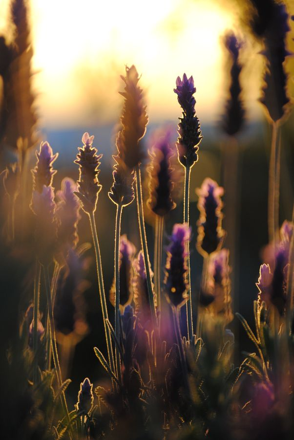 Lavender: Lights, Lavender Fields, Sunsets, Silhouette, Beautiful, French Lavender, Sun Kiss, Flowers, Natural