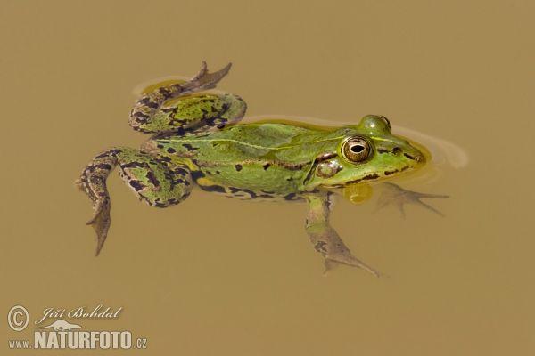 Skokan zelený (Rana esculenta) - je vázaný na vodní prostředí.