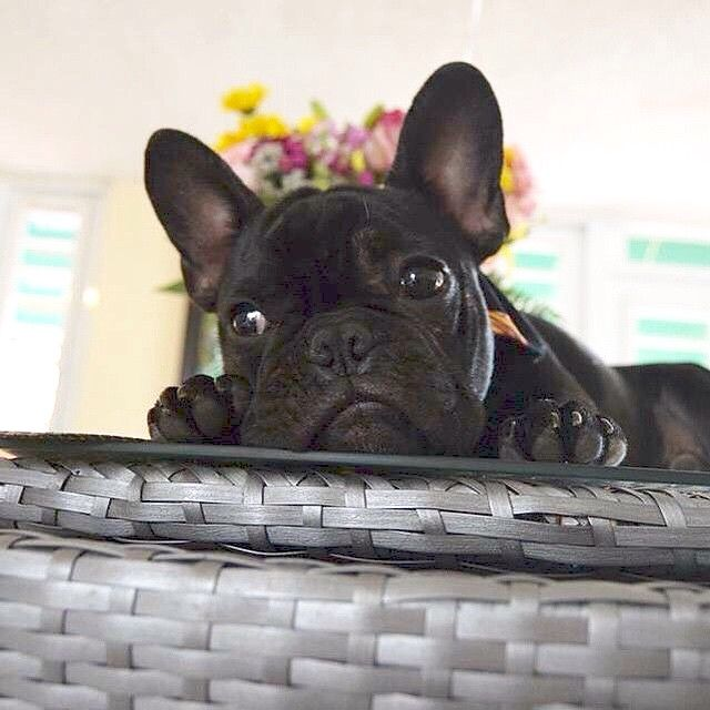 French Bulldog Puppy🐾❤️