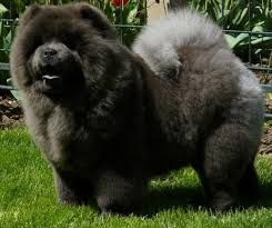 Image result for panda chow chow puppy