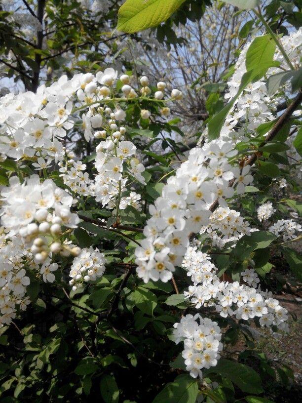 Черемуха душистая с весною расцвела!!!