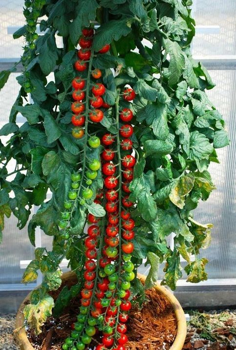 """Rapunzel Tomato - Just like its fairy tale namesake, Rapunzel puts out long, cascading trusses, each with up to 40 sweet, bright red cherry tomatoes that keep coming all summer long. The long stems are quite impressive when picked fully loaded with tomatoes, which can be enjoyed individually as they ripen. Great for those who prefer container gardening. Yum!! (Google """"Rapunzel Tomatoes"""" to find a source.)"""