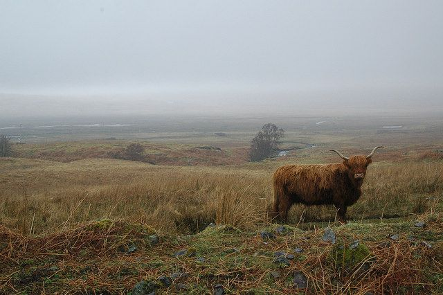 Isle of Mull: Glen More  Highland Cattle on an island in Scotland