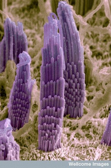 MICROSCOPIC HAIRS IN INNER EAR:  Inner ear help divers (like the one in today's pic) know their up down orientation in water.  Sounds under water are magnified. When we hear sounds (whether under water or above) microscopic hairs in our inner ears vibrate.
