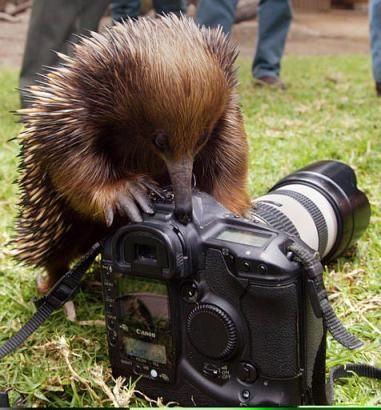 This 'photo of an echidna because it was once my screen saver and also if your baby is called a puggle you have to be worth looking at