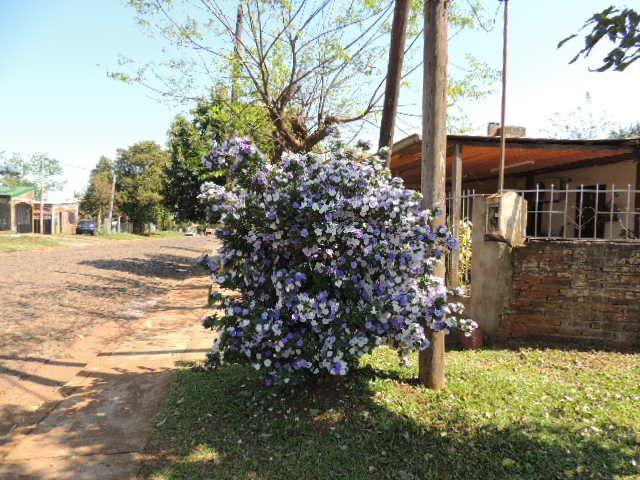 Solanaceas Arbustos Ornamentales Fotos Propias Pinterest