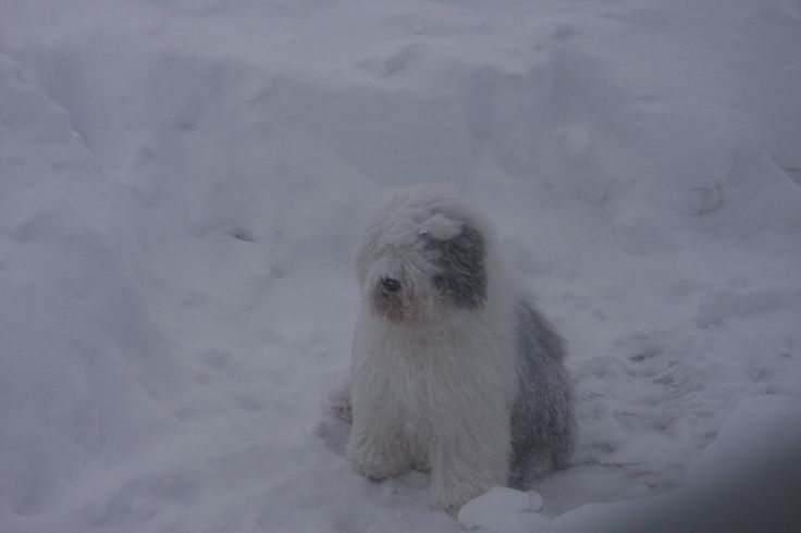 My handsome Blake in winter storm. You're the best old english sheepdog.