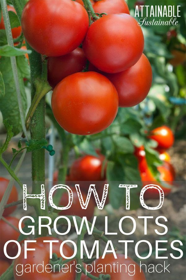 Tomatoes Are Easy To Grow But Knowing The Best Way Plant Will Give Them A Very Solid Start Take Advantage Of This Little Quirk Tomato