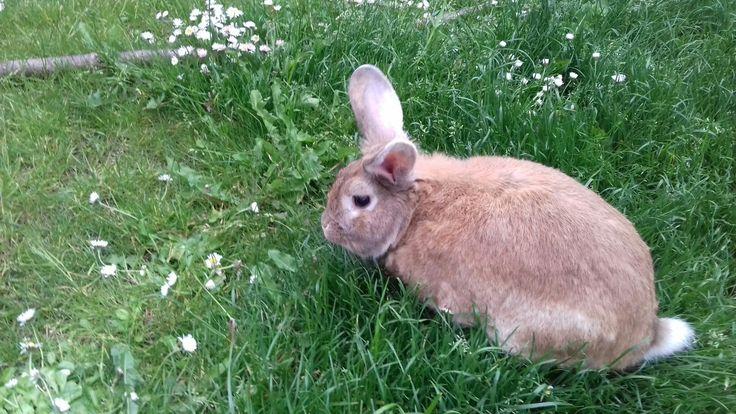 This is my pet Bunny Leo